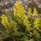 Preview: Corydalis cheilanthifolia - Farn-Lerchensporn